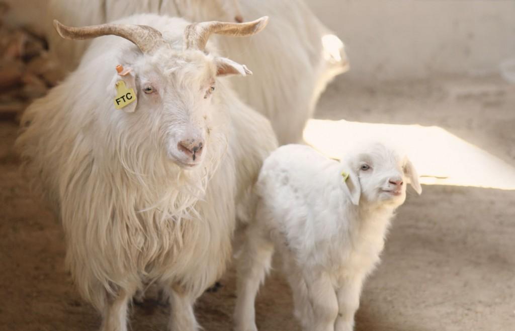 タキシードに使うヤギ・羊のウール